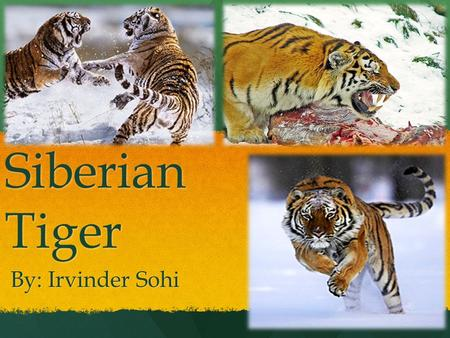 Siberian Tiger By: Irvinder Sohi. Dear MP When one species is removed from their ecosystem it affects another. Biodiversity depends on every single organism.