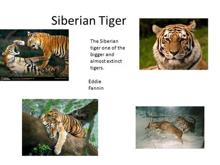Siberian Tiger The Siberian tiger one of the bigger and almost extinct tigers. Eddie Fannin.