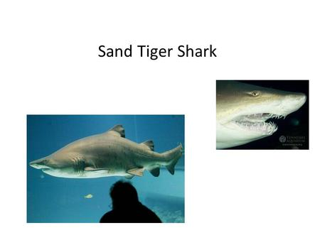 Sand Tiger Shark. Sand Tigers Interaction with Humans People associate the sand tigers with having a vicious demeanor because their teeth protrude from.