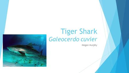 Tiger Shark Galeocerdo cuvier Megan Murphy. Order Carcharhiniformes - Ground Sharks  Most dominant group of sharks ~200 described species  Anal fin.