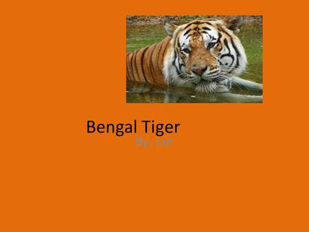 Bengal Tiger By: Ian. Classification and Description Males weigh 488 lb.- females 308 lb. Mammal Panthera tigress Albina white tigers- blue eyes orange.