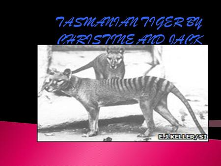 TASMANIAN TIGER BY CHRISTINE AND JACK