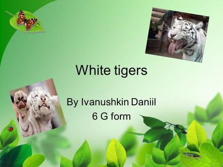 White tigers By Ivanushkin Daniil 6 G form. The white tigers live in India, in Butan, in Nepal. There aren't many white tigers in the world. They need.