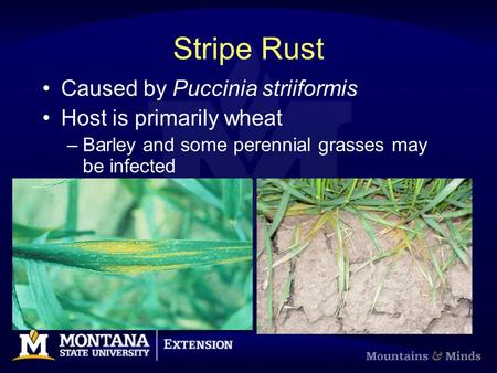 Stripe Rust Caused by Puccinia striiformis Host is primarily wheat –Barley and some perennial grasses may be infected.