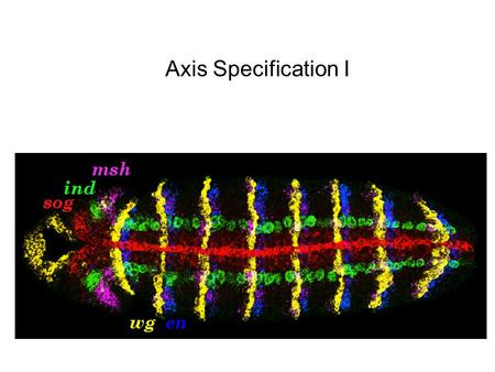 Axis Specification I. Nusslein-Volhard, 2004 The Maternal-Effect Mutants (also found the D/V Group)