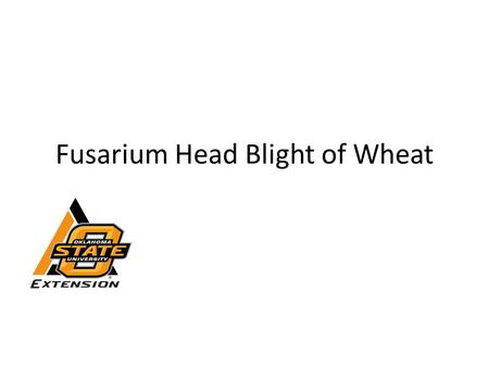 Fusarium Head Blight of Wheat. Fusarium Head Blight (FHB) Also called head scab Caused by the fungus Fusarium – Survives on grass crop residues Corn Grain.
