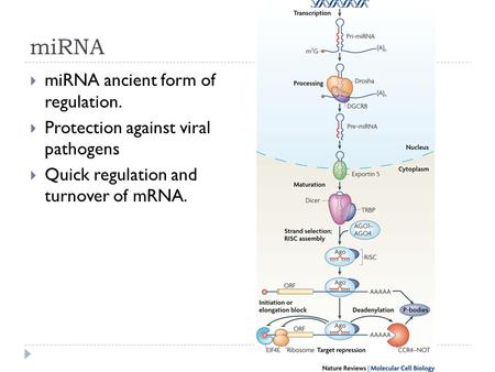 MiRNA  miRNA ancient form of regulation.  Protection against viral pathogens  Quick regulation and turnover of mRNA.