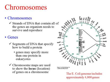 The E. Coli genome includes approximately 4,000 genes Chromosomes Strands of DNA that contain all of the genes an organism needs to survive and reproduce.