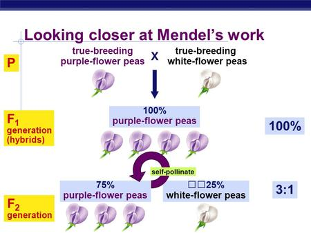 AP Biology F 2 generation 3:1 75% purple-flower peas 25% white-flower peas Looking closer at Mendel's work P 100% F 1 generation (hybrids) 100% purple-flower.