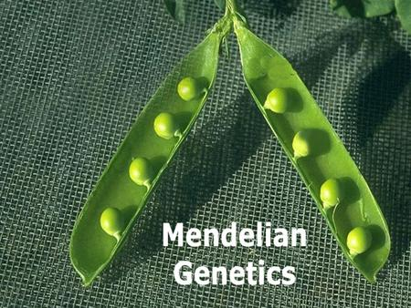 Gregory Johann Mendel 1822- 1884 Austrian monk Experimented with pea plants He thought that 'heritable factors' (genes) retained their individuality generation.