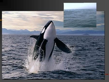 Cetaceans (order Cetacea) Whales, Dolphins and Porpoises Two kinds of whales and dolphins Mysticetes= Baleen whales Odontocetes= Toothed whales, porpoises.