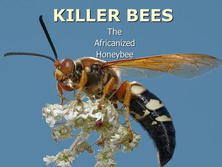 KILLER BEES TheAfricanizedHoneybee. Africanized Honey Bees -- also called Africanized bees or killer bees -- are descendants of southern African bees.