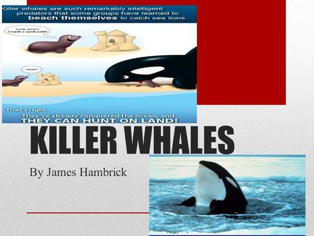 KILLER WHALES By James Hambrick WHAT DO THEY LOOK LIKE Killer whales have a white belly with a white eye.They also have a black back with a spot of white.