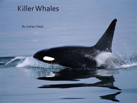 By Kahan Patel Killer Whales. What Is a Killer Whale Orcas are toothed whales. They live in every ocean on earth. Orcas have a layer of blubber to keep.