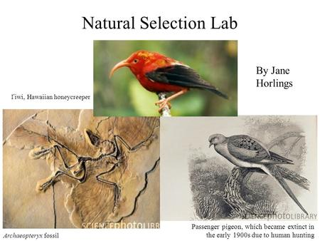Natural Selection Lab Archaeopteryx fossil Passenger pigeon, which became extinct in the early 1900s due to human hunting I'iwi, Hawaiian honeycreeper.