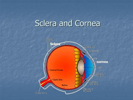 Sclera and Cornea cornea Sclera. Sclera It forms the posterior portion of the globe It forms the posterior portion of the globe It is perforated posteriorly.
