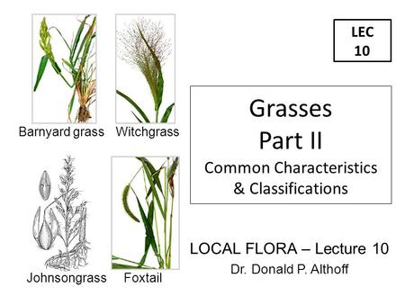 LEC 10 LOCAL FLORA – Lecture 10 Dr. Donald P. Althoff Grasses Part II Common Characteristics & Classifications Barnyard grass Witchgrass Johnsongrass Foxtail.