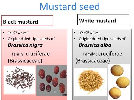 Mustard seed Black mustard الخردل الاسود Origin: dried ripe seeds of Brassica nigra Family: cruciferae (Brassicaceae) الخردل الاسود Origin: dried ripe.