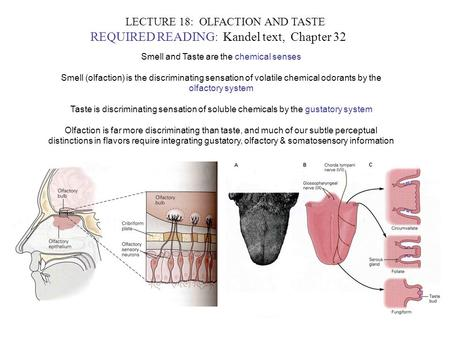 LECTURE 18: OLFACTION AND TASTE REQUIRED READING: Kandel text, Chapter 32 Smell and Taste are the chemical senses Smell (olfaction) is the discriminating.