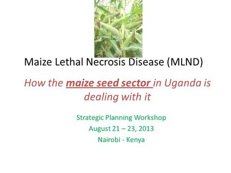 Maize Lethal Necrosis Disease (MLND) Strategic Planning Workshop August 21 – 23, 2013 Nairobi - Kenya How the maize seed sector in Uganda is dealing with.