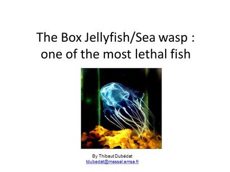The Box Jellyfish/Sea wasp : one of the most lethal fish By Thibaut Dubédat