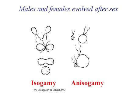 Males and females evolved after sex IsogamyAnisogamy.
