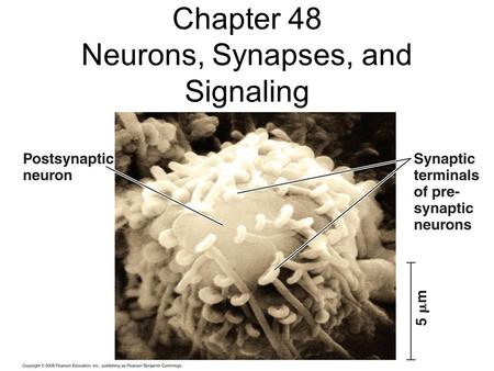 Chapter 48 Neurons, Synapses, and Signaling Information Processing Sensory neurons – Interneurons – Motor neurons – Central vs. Peripheral NS --
