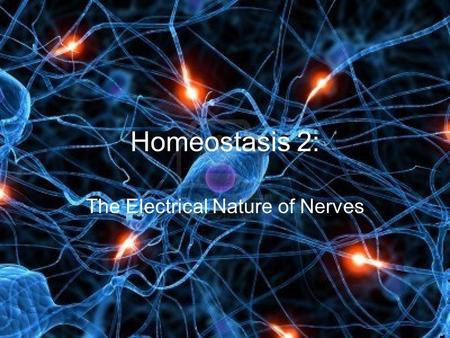 Homeostasis 2: The Electrical Nature of Nerves Electrical Nature of Nerves Neurons use electrical signals to communicate with other neurons, muscles.