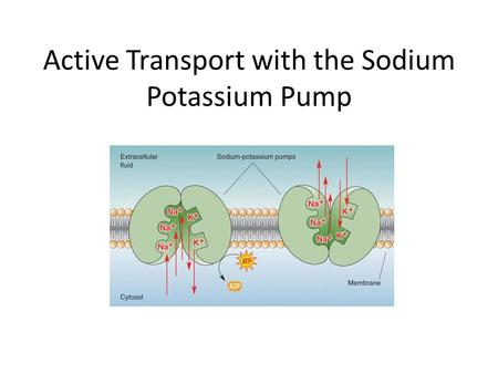 Active Transport with the Sodium Potassium Pump. Review Amphipathic molecules: – Hydrophobic region and hydrophilic region Example: Phospholipids and.