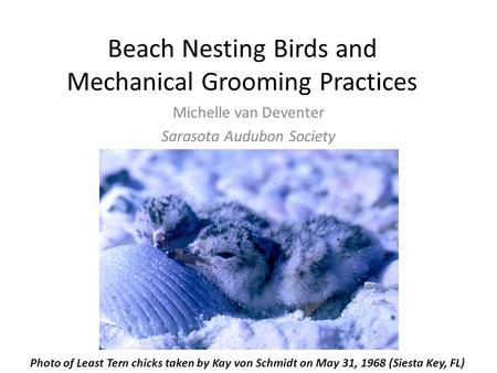 Beach Nesting Birds and Mechanical Grooming Practices Michelle van Deventer Sarasota Audubon Society Photo of Least Tern chicks taken by Kay von Schmidt.
