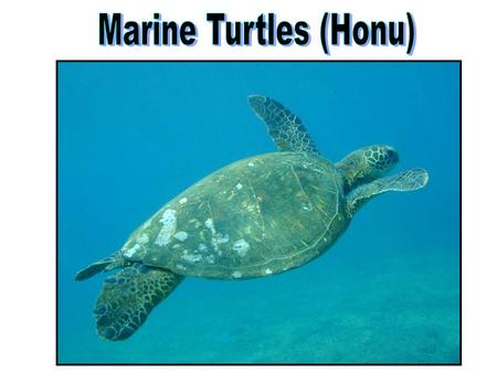 Marine turtle Marine Reptiles Marine iguana Sea snake Saltwater crocodile Some reinvaded the oceans, but still breathe air: Turtles (Order Chelonia) Snakes.