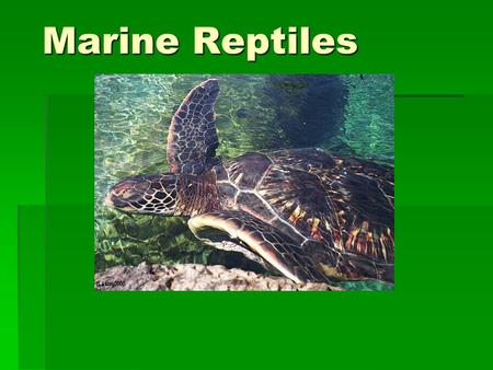 Marine Reptiles. Classification Class Reptilia  Order Chelonia  Sea turtles  Order Squamata  Sea snakes, marine iguana  Order Crocodilia  Saltwater.