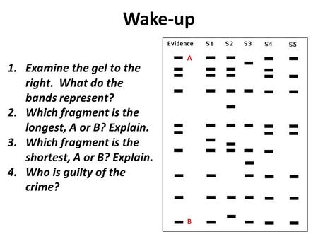 Wake-up 1.Examine the gel to the right. What do the bands represent? 2.Which fragment is the longest, A or B? Explain. 3.Which fragment is the shortest,