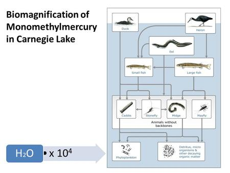 Biomagnification of Monomethylmercury in Carnegie Lake x 10 4 H2OH2O.