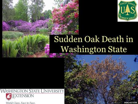 Sudden Oak Death in Washington State. What is Sudden Oak Death? First seen in early 1990s Two types of symptoms –Canker –Foliar blight Caused by Phytophthora.