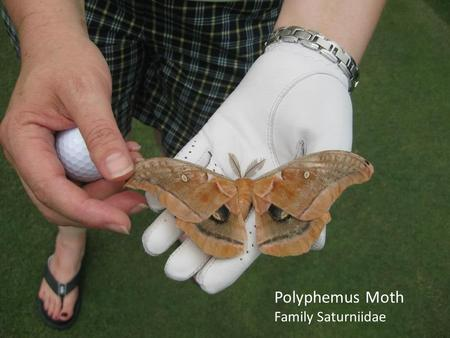 Polyphemus Moth Family Saturniidae. Integrated Pest Management for Greenhouse and Nursery Insect Pests Jen Bergh Technical Support Specialist Turf & Ornamentals.
