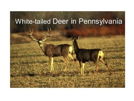 White-tailed Deer in Pennsylvania. The only species we manage that, when overpopulation occurs, has a far-reaching impact (consider rabbits or squirrels)