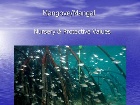 Mangove/Mangal Nursery & Protective Values. What is a nursery? Historically Historically –An area that supports a higher density or abundance of immature.