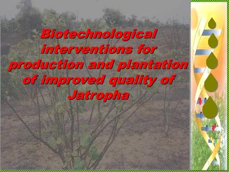 Biotechnological interventions for production and plantation of improved quality of Jatropha.