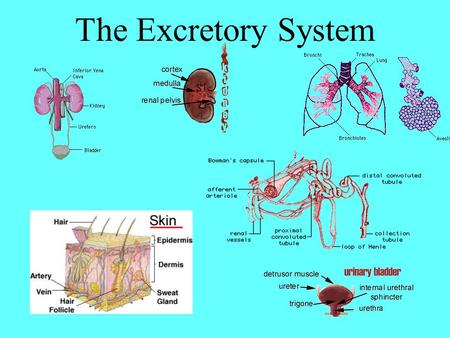 The Excretory System The excretory system is the name given to the skin, lungs and kidneys which release metabolic wastes to the outside of the body.