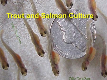 Trout and Salmon Culture. Salmonid Life Cycle Commonly Cultured Trout Rainbow Trout Oncorhynchus mykiss Brown TroutBrown Trout Salmo trutta Brook Trout.