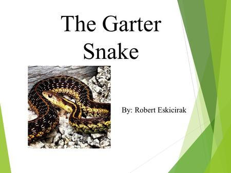 The Garter Snake By: Robert Eskicirak. What does my animal look like?  Garter snakes are black, yellow, green, grey, and brown.  Garter snakes have.