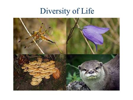 Diversity of Life. Kingdom Phylum Class Order Family Genus Species The 5 Kingdom System.