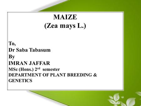 MAIZE (Zea mays L.) To, Dr Saba Tabasum By IMRAN JAFFAR MSc (Hons.) 2 rd semester DEPARTMENT OF PLANT BREEDING & GENETICS.