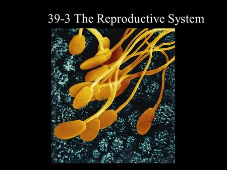 39-3 The Reproductive System. Sexual Development In humans, the reproductive system produces, stores, and releases specialized sex cells known as gametes.