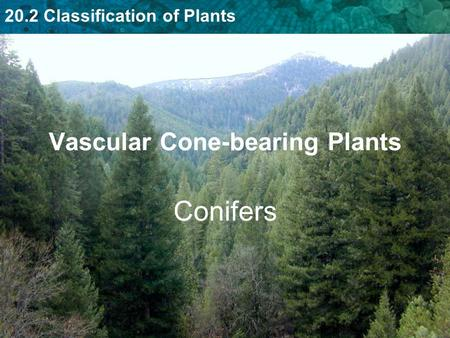 20.2 Classification of Plants Vascular Cone-bearing Plants Conifers.
