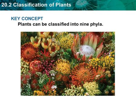 KEY CONCEPT  Plants can be classified into nine phyla.