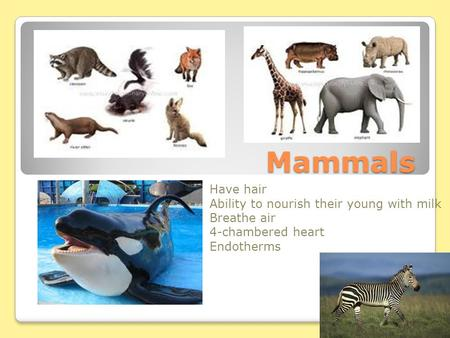 Mammals Have hair Ability to nourish their young with milk Breathe air 4-chambered heart Endotherms.