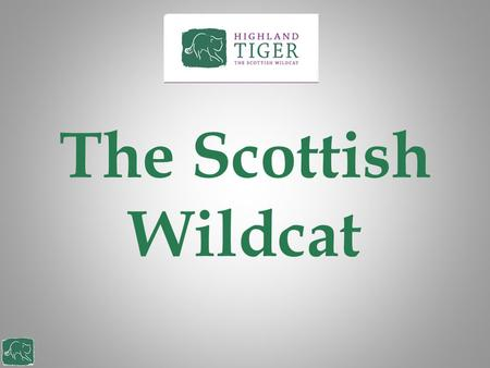 The Scottish Wildcat. What is a Scottish wildcat Scotland's last wild member of the cat family Can grow up to 1 metre in length and can weigh 7.5 Kg Mainly.