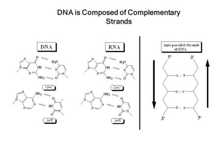DNA is Composed of Complementary Strands